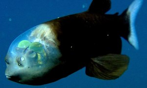It's possible to learn where the barreleye fish was seen, and the habitats it prefers. Photo courtesy MBARI.