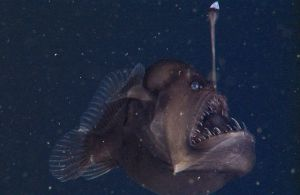 The black sea devil anglerfish is among the images in the new Deep-Sea Guide. Photo courtesy MBARI.