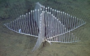 Little-known and rarely seen seafloor animals like the harp sponge are included in the Deep-Sea Guide. Photo courtesy MBARI.