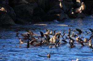 Feeding Frenzy Monterey Bay_Michelle Bender
