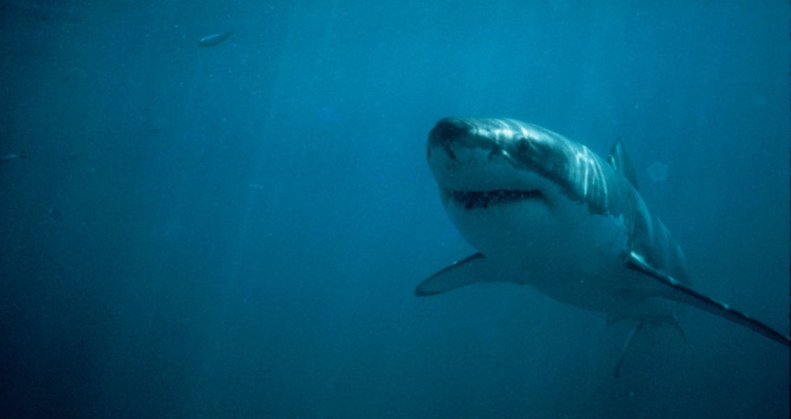 Our commitment to science: white shark research