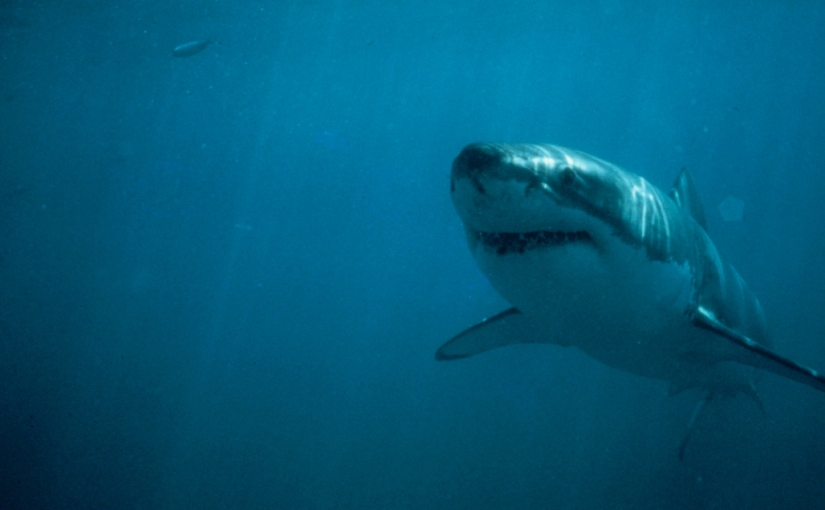 Our commitment to science: white sharkresearch