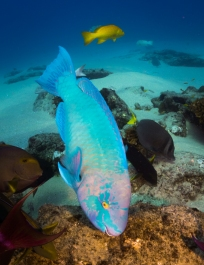 parrot fish (1 of 1)