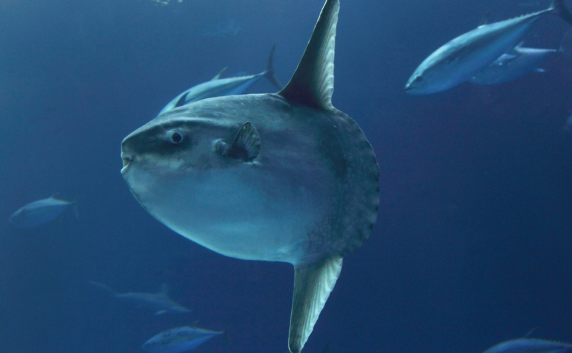 Keeping up with ocean sunfish