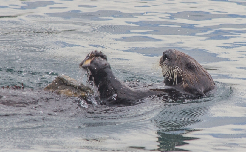 Sea otters are handy withtools