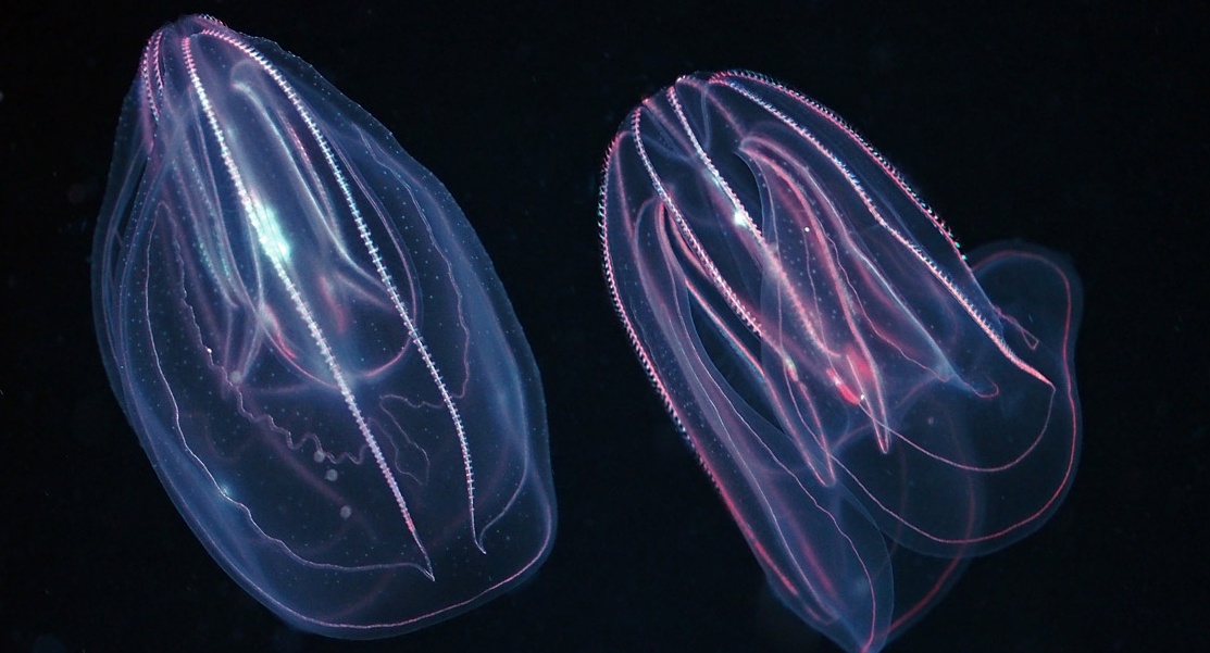 Untangling comb jelly culture