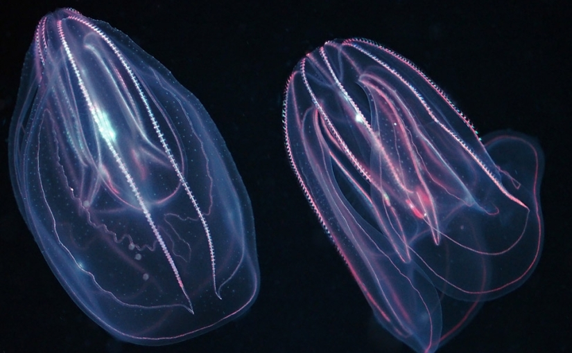Untangling comb jellyculture