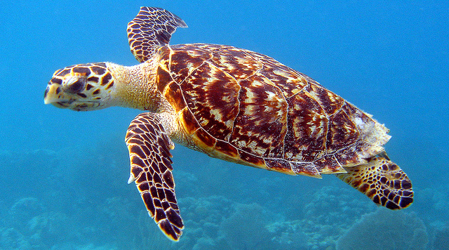 For sea turtles, a diet worse than junkfood