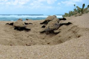 Leatherback hatchlings_Jeroen Looye_flickrCC