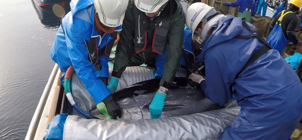 Dispatch from the Sea of Japan: Tagging takes teamwork
