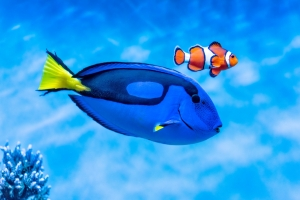 Blue tangs and clown anemonefish, like these on exhibit at the Aquarium, need healthy reefs to survive in the wild.