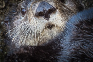 Hakai sea otter close-up_Grant Callegari