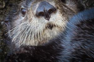 Hakai sea otter close-up_Grant Callegari