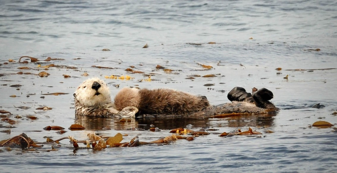Visiting the Canadian cousins of Monterey Bay's sea otters