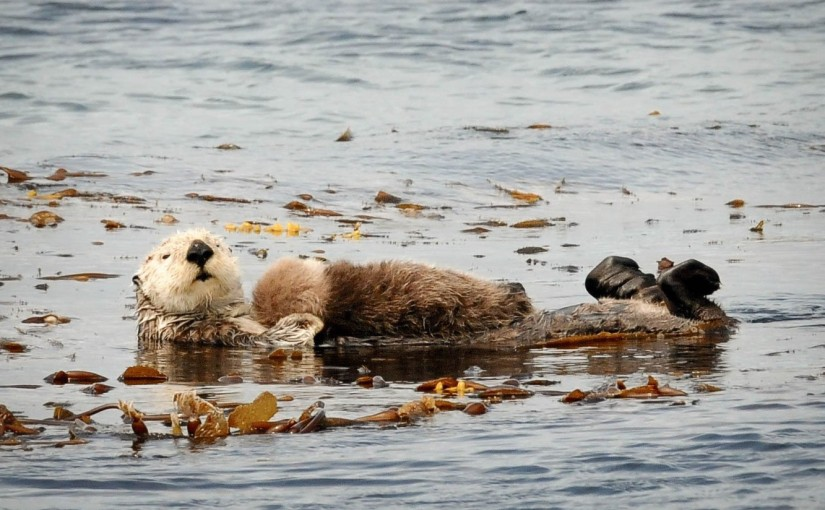 Visiting the Canadian cousins of Monterey Bay's seaotters