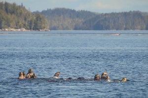 Hakai sea otter raft_Josh Silberg