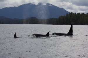 KillerWhales__British Columbia