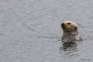 Male_seaotter_periscoping_british columbia
