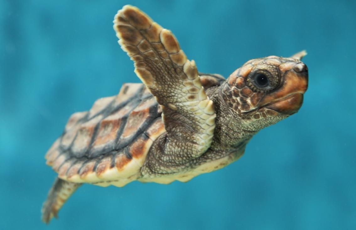 Think your parents are tough? Try being a seaturtle