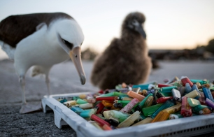 PMNM - Laysan Albatross and Debris