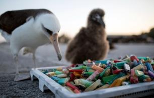 PMNM - Laysan Albatross and Debris