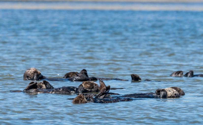 Sea otter insights: monitoring apex predators in ElkhornSlough