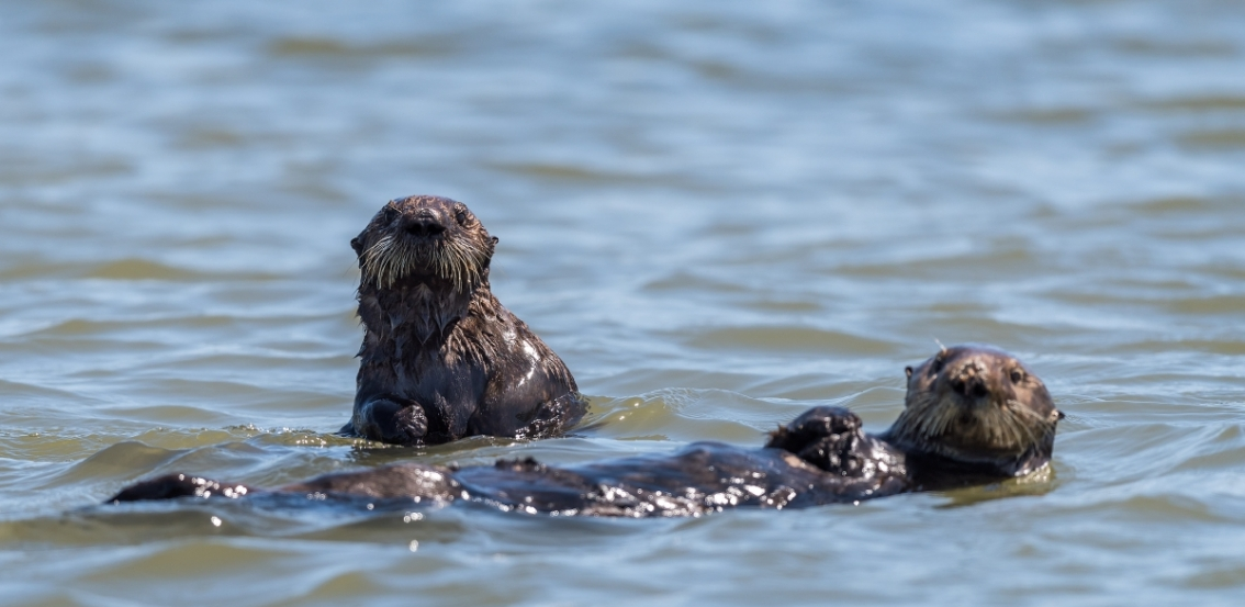 Our surrogate-raised sea otters are helping restore a wetland