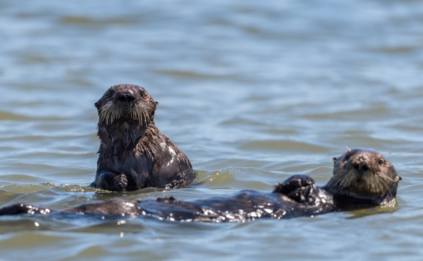 Our surrogate-raised sea otters are helping restore awetland