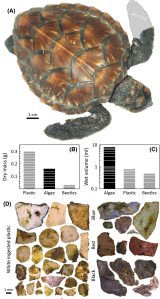 During a necropsy, researchers found 41 pieces of plastic in the stomach of this juvenile hawksbill sea turtle.