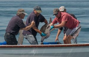 Monterey Bay Aquarium and its research colleagues have been tagging juvenile white sharks in southern California since 2002. Photo courtesy Steve McNicholas