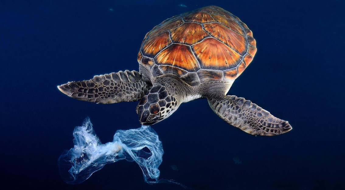 EY5P6X Green sea turtle trying to eat a plastic bag It seems a jellyfish