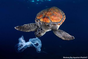 Green sea turtle trying to eat a plastic bag It seems a jellyfish