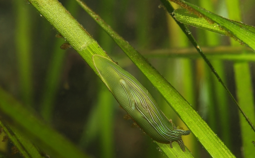 Restoring eelgrass for climateresilience