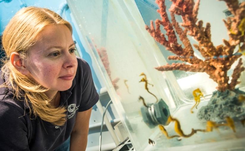 Breeding seahorses to conserve their wildcousins