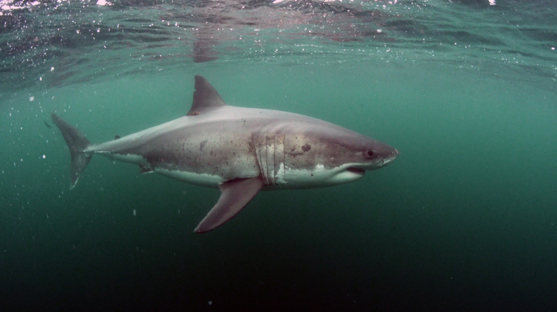 """A white shark, dubbed """"Middle-Notch"""" for the pattern on his dorsal fin, swims near our researchers in the Farallones."""