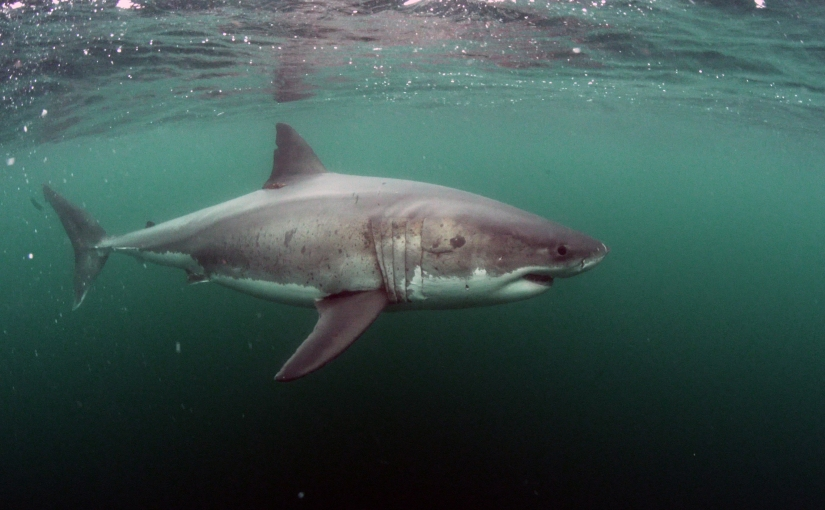 Dispatch from the Farallones: White shark familyportraits