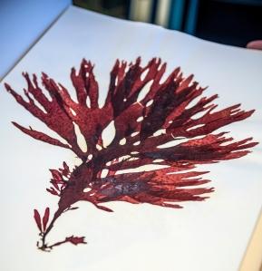 A pressed red algae specimen, part of the Aquarium's herbarium.