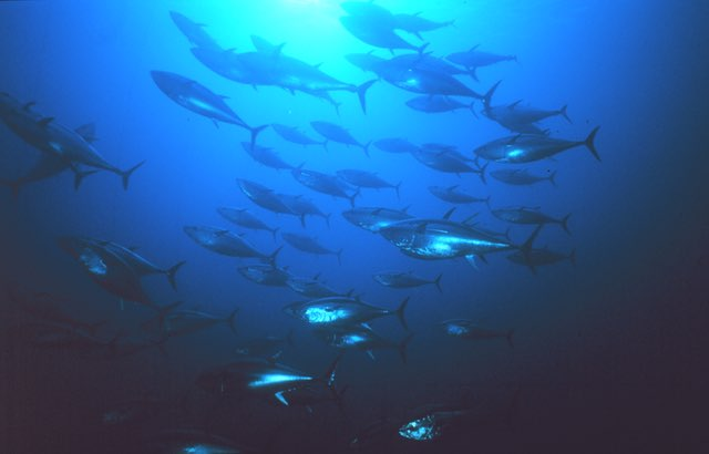 Science shows a path to recover Pacific bluefin tuna