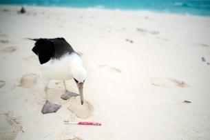 PMNM - Laysan Albatross 2016 Cleanup