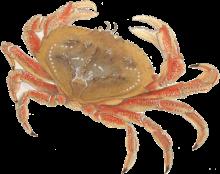Dungeness crab illus