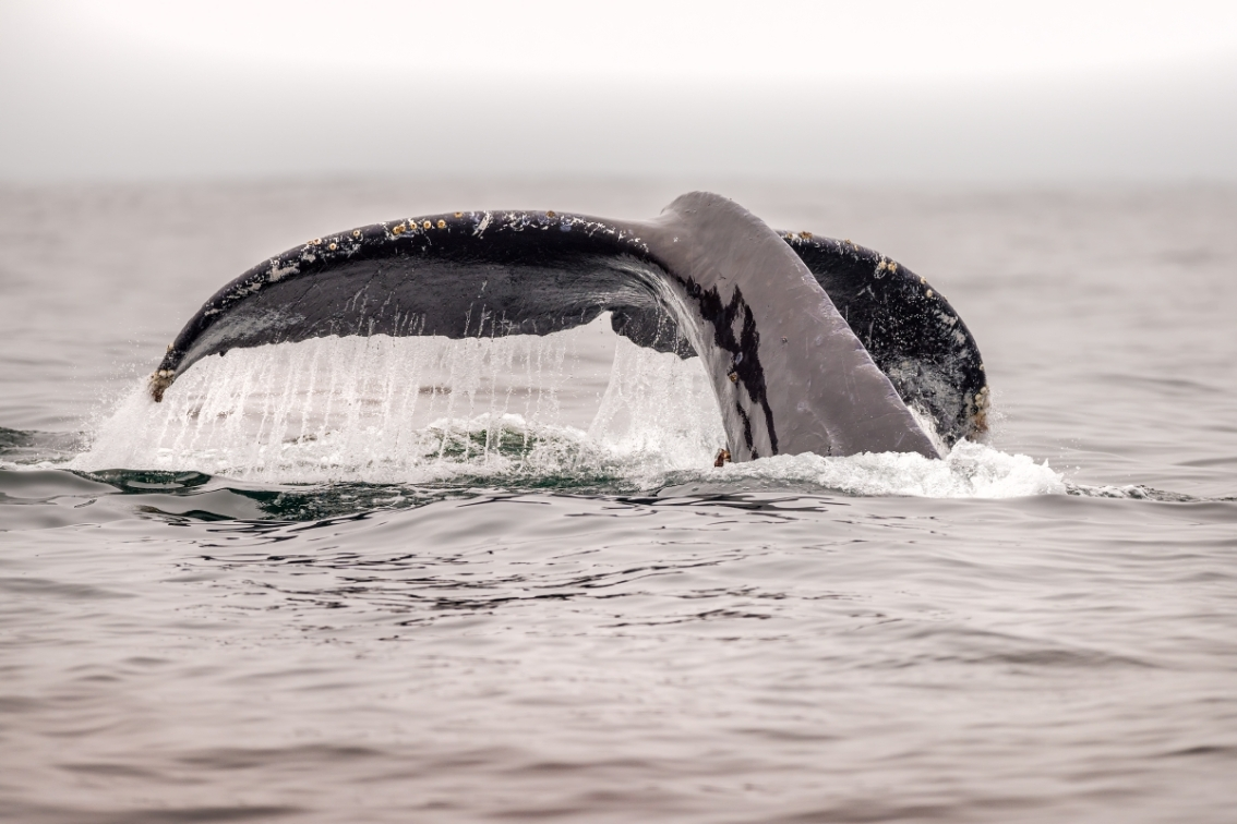 Reeling in a major cause of whale entanglement