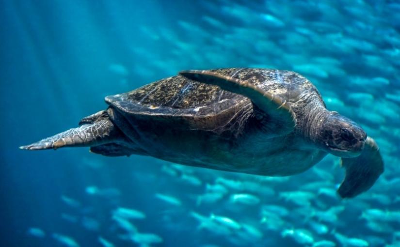 Flippers, not fingers: Sea turtles' surprising feedingstrategies