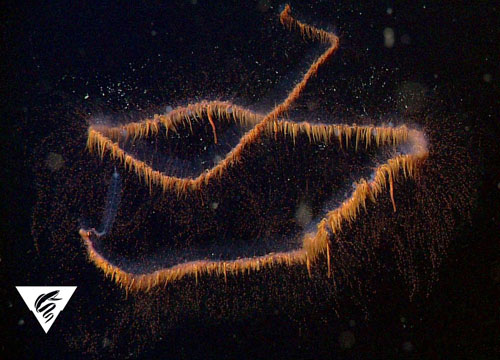 Untangling the mysteries of deep-sea foodwebs