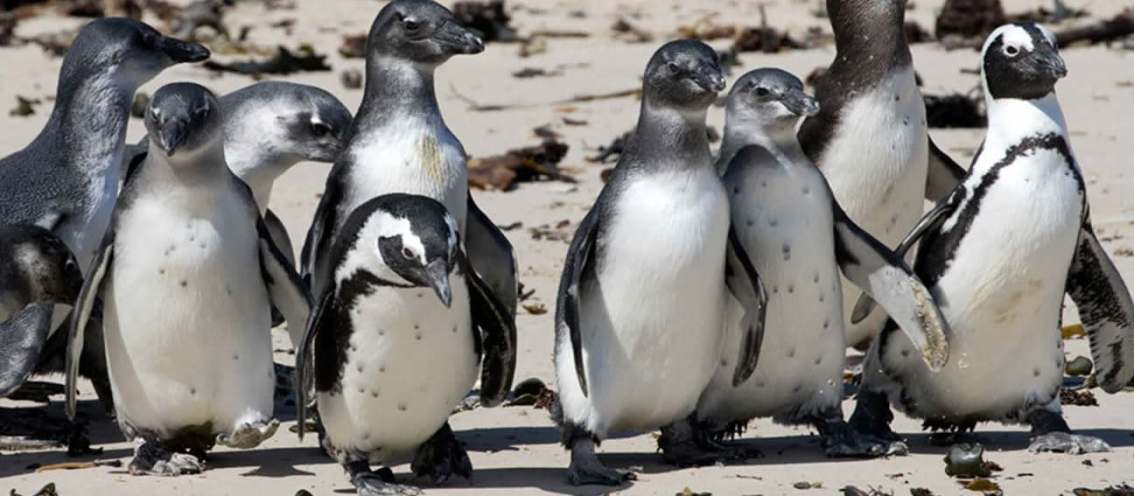 SOS for South African penguins