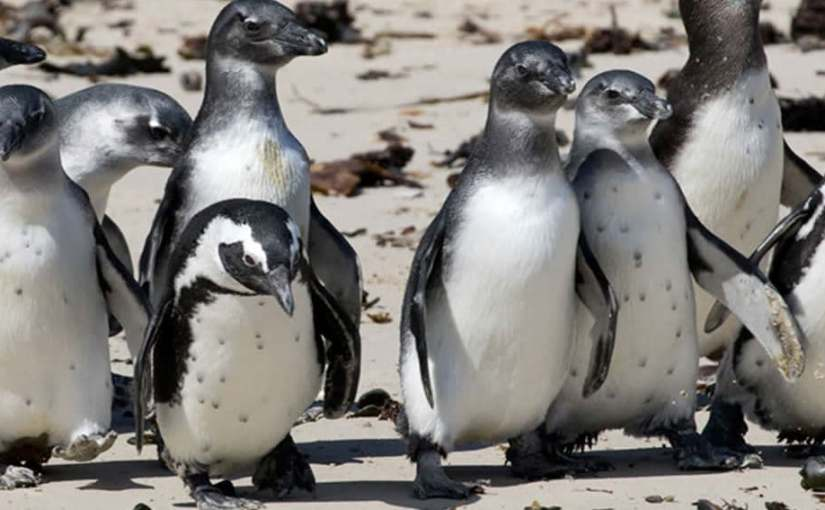 SOS for South Africanpenguins