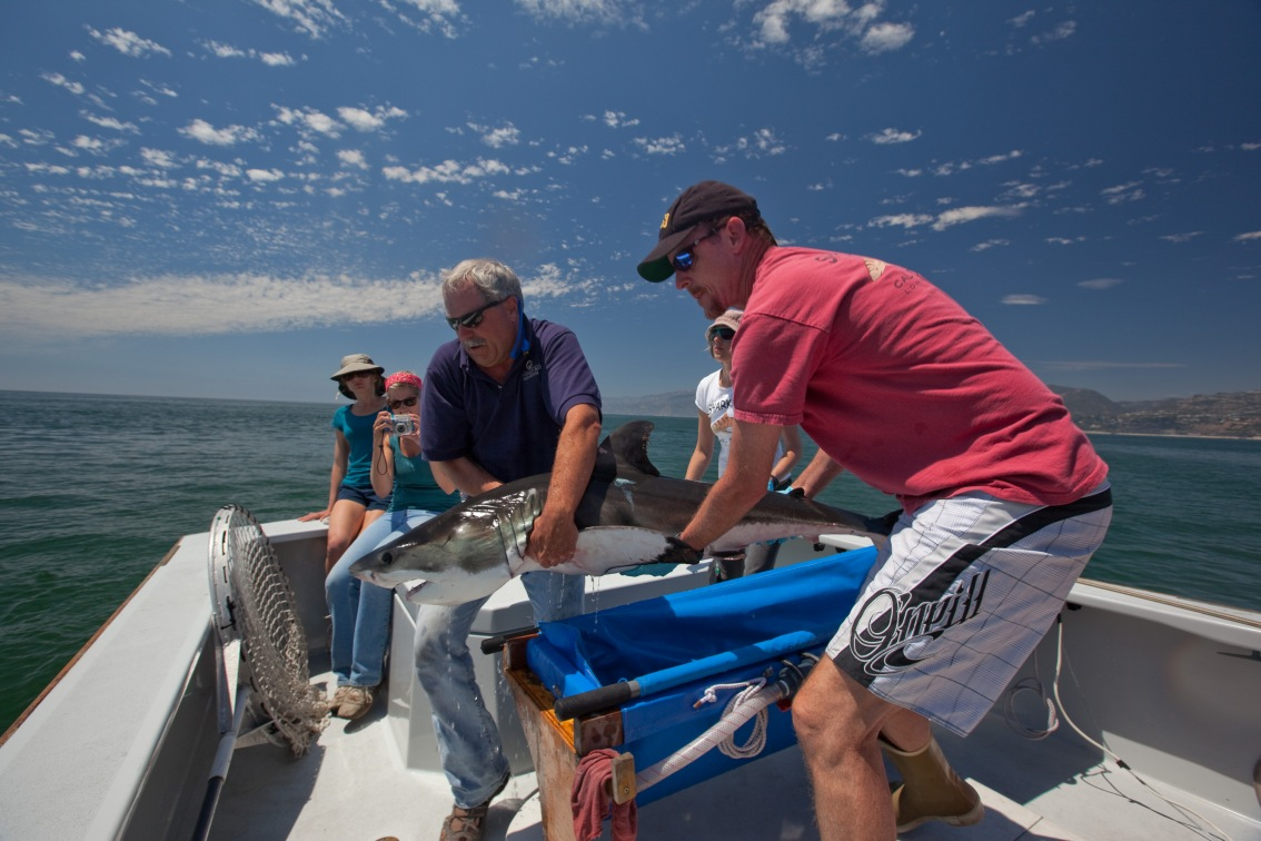New insights to help young white sharks survive