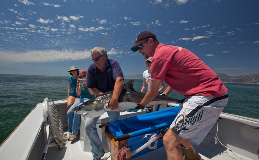 New insights to help young white sharkssurvive