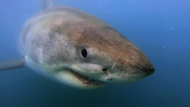 For white sharks, an oasis, not adesert