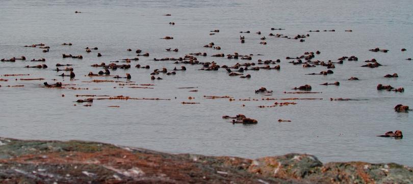 Otter raft – Glacier Bay – Conservation & Science