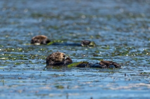 Sea otter in Elkhorn Slough MBA owned